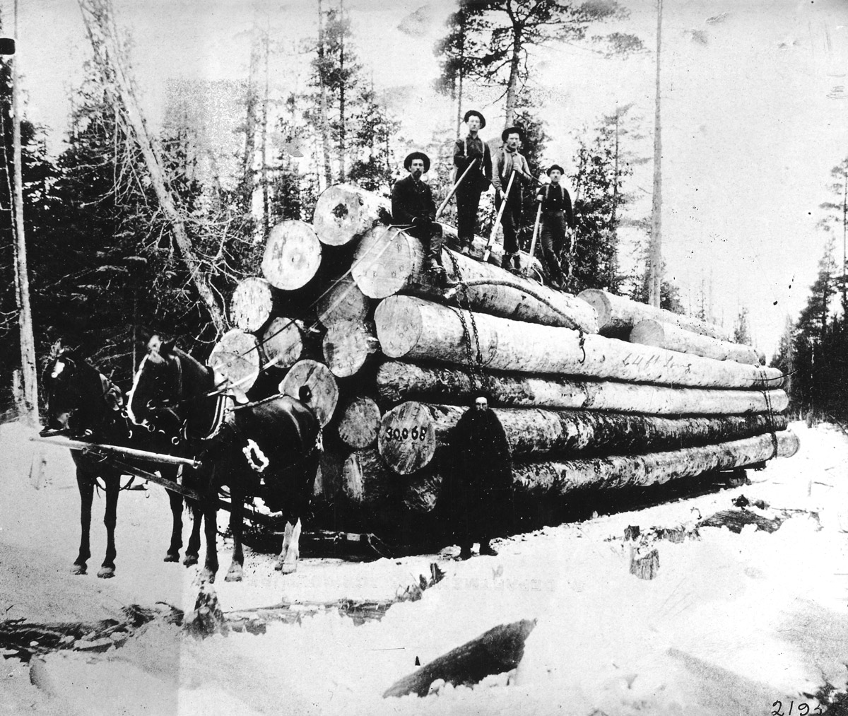 Transporting White Pine Logs on a Sled